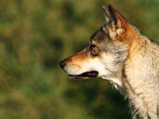 wolf wiki malene thyssen